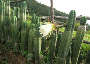 San Pedro Cactus Ceremonies and Retreats in Quito Ecuador